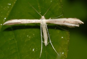 Adaina microdactyla 01 1