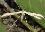 Adaina microdactyla 06 1