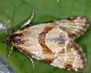 Aethes hartmanniana 06 3