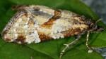 Aethes hartmanniana 06 4