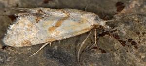 Aethes smeathmanniana 66 1