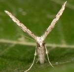 Agdistis melitensis 2B 1