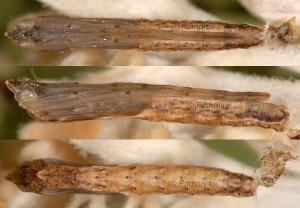 Agdistis neglecta chrysalide 06 1