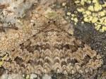 Alucita cymatodactyla 06 1
