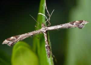 Amblyptilia acanthadactyla 06 2