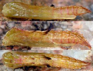 Amblyptilia acanthadactyla chrysalide 2A 1