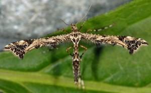 Amblyptilia punctidactyla 06 2