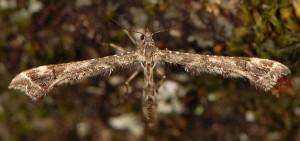Amblyptilia punctidactyla 06 4