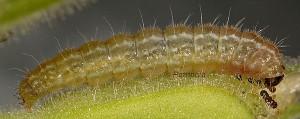Amblyptilia punctidactyla L3 1