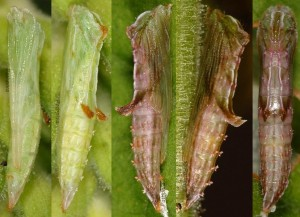 Amblyptilia punctidactyla chrysalide 06 1