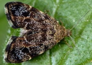 Anthophila fabriciana femelle 06