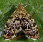 Anthophila fabriciana mâle 06