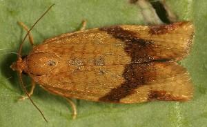 Aphelia ferugana