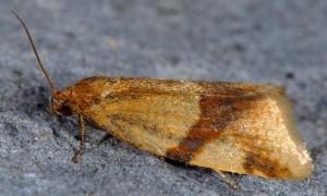 Aphelia ferugana 06 3