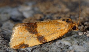 Aphelia ferugana 06 4