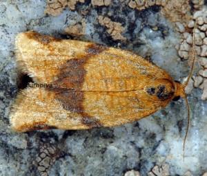 Aphelia ferugana 06 5