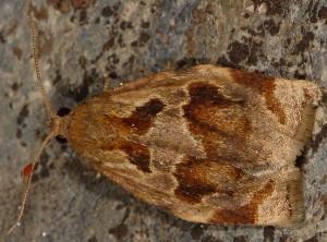 Archips crataegana 06 1