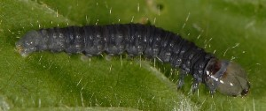 Archips crataegana L3 1
