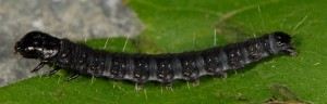 Archips crataegana L4 1