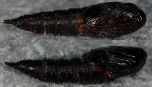 Archips crataegana chrysalide 38 1