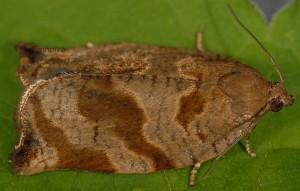 Archips crataegana femelle 38 1