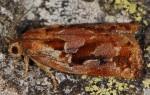 Archips oporana 2