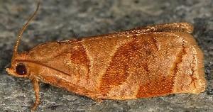 Archips rosana 06 3
