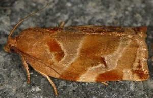 Archips xylosteana 06 2