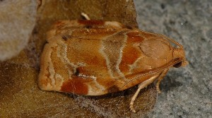 Archips xylosteana 1