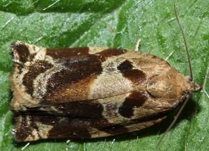 Archips xysloteana 73