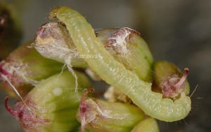 Argyrotaenia ljungiana L5 06 1