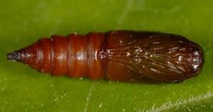 Argyrotaenia ljungiana chrysalide 06