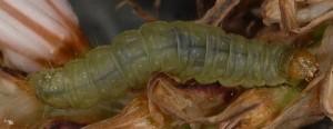 Avaria hyerana L5 2B 1