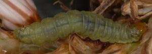 Avaria hyerana L5 2B 2