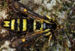Bembecia uroceriformis (I)