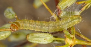 Cacoecimorpha pronubana L4 34 2
