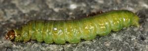 Cacoecimorpha pronubana L5 06 1