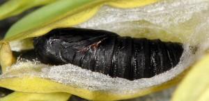 Cacoecimorpha pronubana chrysalide 06 2