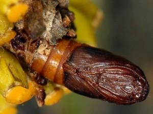 Cacoecimorpha pronubana chrysalide 13 2