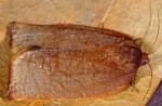 Cacoecimorpha pronubana femelle 06 1