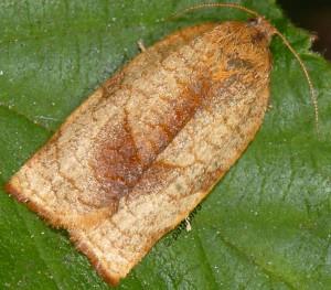 Cacoecimorpha pronubana femelle 06 2