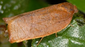 Cacoecimorpha pronubana femelle 06 3