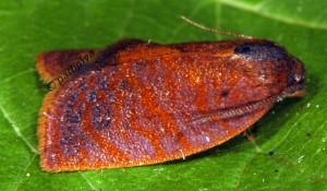 Cacoecimorpha pronubana mâle 2B 1