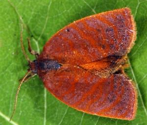 Cacoecimorpha pronubana mâle 2B 2