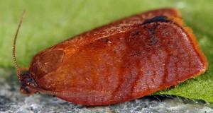 Cacoecimorpha pronubana mâle 83 1
