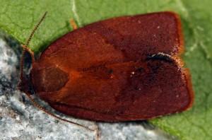 Cacoecimorpha pronubana mâle 83 2