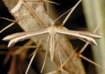 Calyciphora acarnella 2B 1