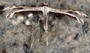 Calyciphora adamas 06 1