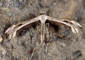 Calyciphora adamas 06 2