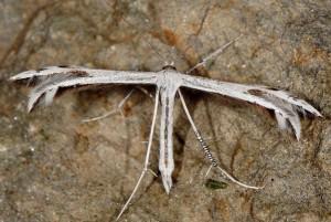 Calyciphora adamas 66 1
